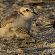 Snowy Plover Transformation Into A Spiderbird 1 Poster