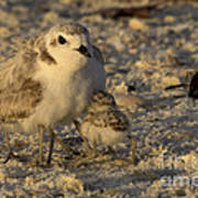 Snowy Plover Transforms Into A Spiderbird 5 Poster