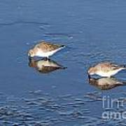 Snowy Plovers Poster