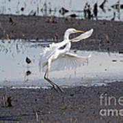 Snowy White Egret Poster