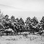Snowy Winter Pine Trees In Black And White Poster