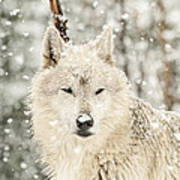 Snowy Wolf Poster