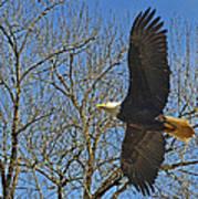 Soaring Bald Eagle Poster