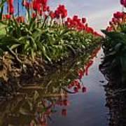 Soaring Crimson Tulips Poster