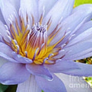 Soft Mauve Waterlily Poster