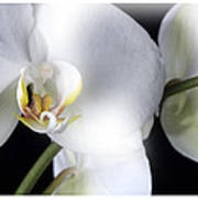 Soft Orchid Poster