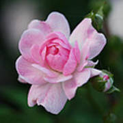 Soft Pink Miniature Rose Poster by Rona Black