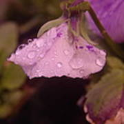 Soft Rain On A Flower Poster