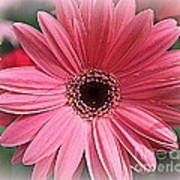 Softly In Pink - Zinnia Poster