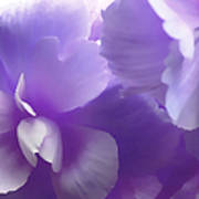 Softness Of Purple Begonias Poster