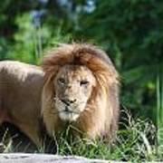 Solemn Lion Poster