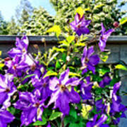 Solina Clematis On Fence Poster