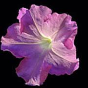Solitary Pink Petunia Poster