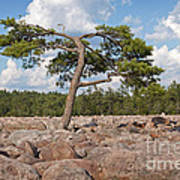 Solitary Tree Amidst Field Of Boulders Poster
