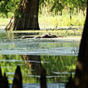 Some Turtles At Radium Springs Creek Poster