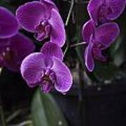 Some Very Beautiful Purple Colored Orchid Flowers Inside The Jurong Bird Park Poster