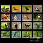 Song Birds Of Canada Collection Poster