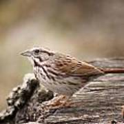 Song Sparrow On Stump Poster