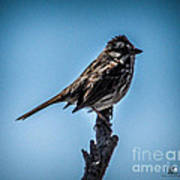 Song Sparrow On Top Of Branch Poster