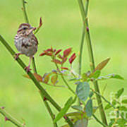 Song Sparrow Poster by Rima Biswas
