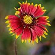 Sonoran Blanket Flower Poster