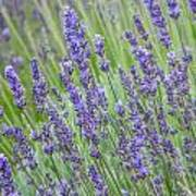 Soothing Lavender Poster