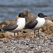Mr. And Mrs. Laughing Gull  Poster