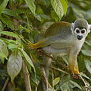 South American Squirrel Monkey Amazonia Poster