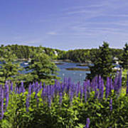 South Bristol And Lupine Flowers On The Coast Of Maine Poster