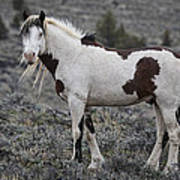 South Steens Wild Stallion Poster