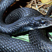 Southern Black Racer Coluber Priapus Poster