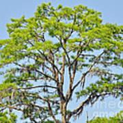 Southern Cypress Poster