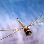 Southern Hawker Dragonfly  Poster