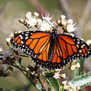 Southern Monarch Butterfly Poster