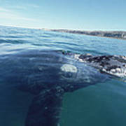 Southern Right Whale At Surface Poster