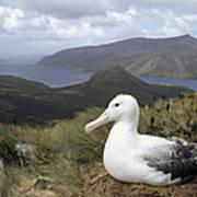 Southern Royal Albatross On Nest Poster