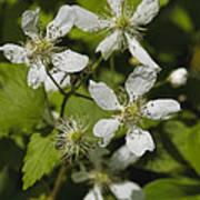 Southern Sawtooth Highbush Blackberry Blossoms - Rubus Argutus Poster