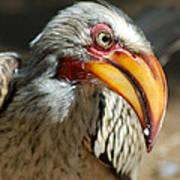 Southern Yellow-billed Hornbill - Tockus Leucomelos  Poster