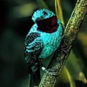 Spangled Cotinga Turquoise Bird Poster