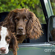 Spaniels In Car Poster