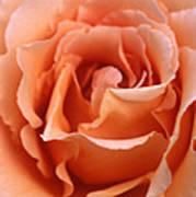 Spanish  Rose Poster by Etti PALITZ