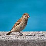 Spanish Sparrow At Sirmione. Lago Di Garda Poster