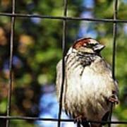 Sparrow On A Wire Fence Poster