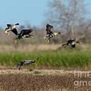 Speckled Belly Geese Landing Poster