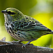 Speckled Tanager - Tangara Guttata Poster