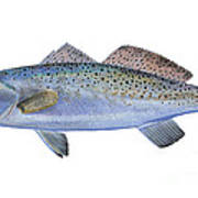 Speckled Trout Poster by Carey Chen