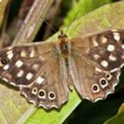 Speckled Wood Butterfly On A Leaf Poster