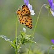 Speckled Yellow Moth On Pansy Wild Flower Poster