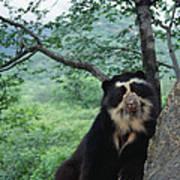 Spectacled Bear Cerro Chaparri  Peru Poster