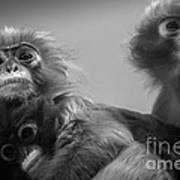 Spectacled Langur Family Poster